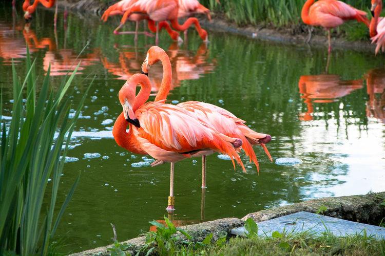 Beak Bird Flamingo Nature One Leg Salmon Colored Stunning Collection Water Zoo