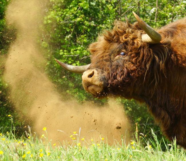 Highland Cattle Highland Bull Horns Cattle Dirt Dust Snort Strength