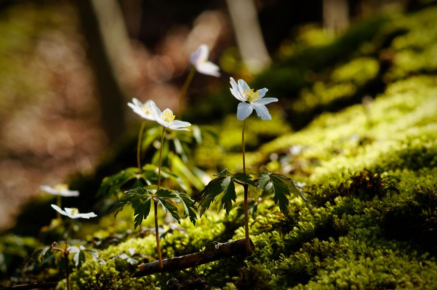 Thriving windflowers/thimbleweeds in a beech forest near the Baltic Sea, Schleswig-Holstein, Germany on April 18, 2018. Foto (c) Kay-Christian Heine Thimbleweed Beauty In Nature Blooming Blossom Close-up Day Flower Flower Head Flowering Plant Fragility Freshness Green Color Growth Inflorescence Nature No People Outdoors Petal Plant Selective Focus Spring Vulnerability  White Color Windflower Woodlands