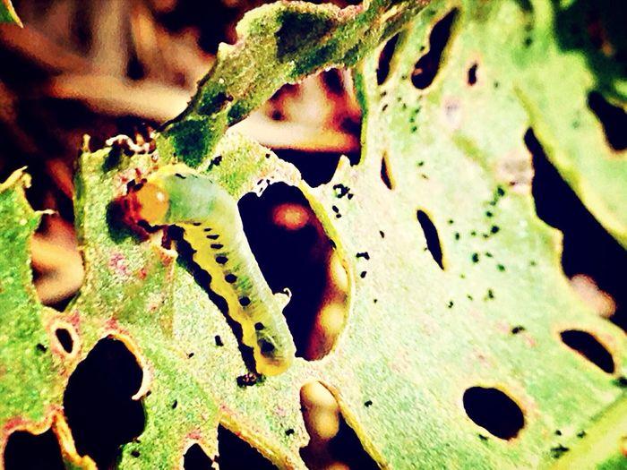 EyeEm Nature Lover Leaf Bug Here Is The Artist!!