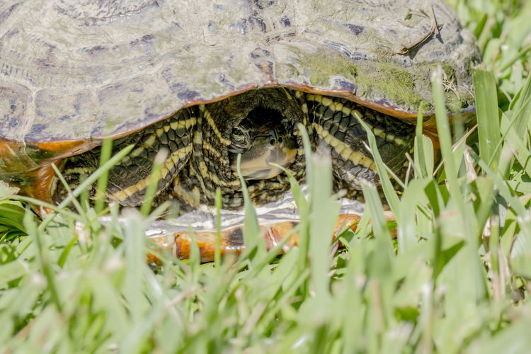 Turtle in the shell Slow Animal Animal Themes Animal Wildlife Animals In The Wild Beauty In Nature Close-up Day Grass Green Color Nature No People One Animal Outdoors Reptile Slow Tortoise Shell Turtle