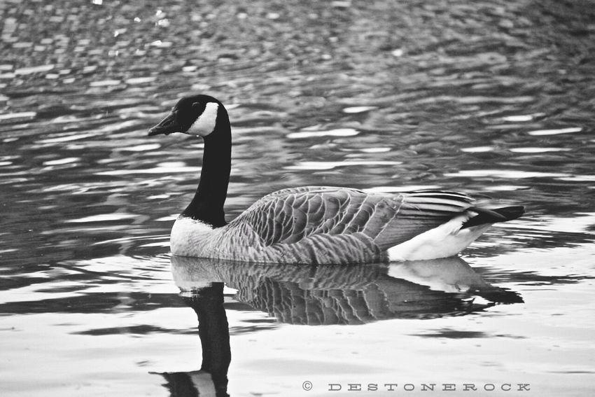 Black & White Black And White Blackandwhite Photography Walking Around Camera Practice Taking Photos Swan Testing Camera