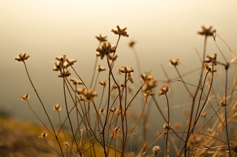 Backlight Grass Backgrounds Beauty In Nature Close-up Day Dry Field Focus On Foreground Fragility Growth Land Mountain Nature No People Outdoors Plant Plant Stem Selective Focus Sky Stalk Sun Sunset Tranquil Scene Tranquility Vulnerability  Wilted Plant