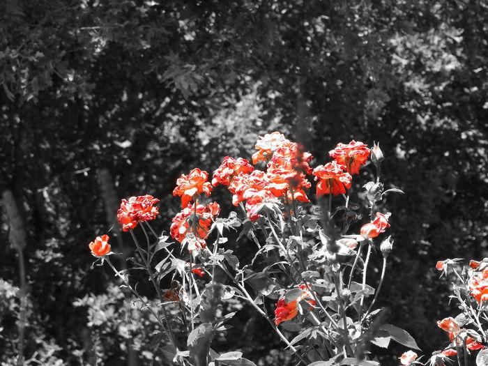 Flores, Bosques Y Naturaleza. Flores Flores Rojas Rosas Rojas Escala De Grises  // Flowers Red Color Red Flowers Red Roses Rose Bushes Beauty In Nature Springtime Flower Plant Flower Head Rosales Arbustes Nikon P900 Nikon Nature Flower Collection Flowers,Plants & Garden Floral Flowers, Nature And Beauty