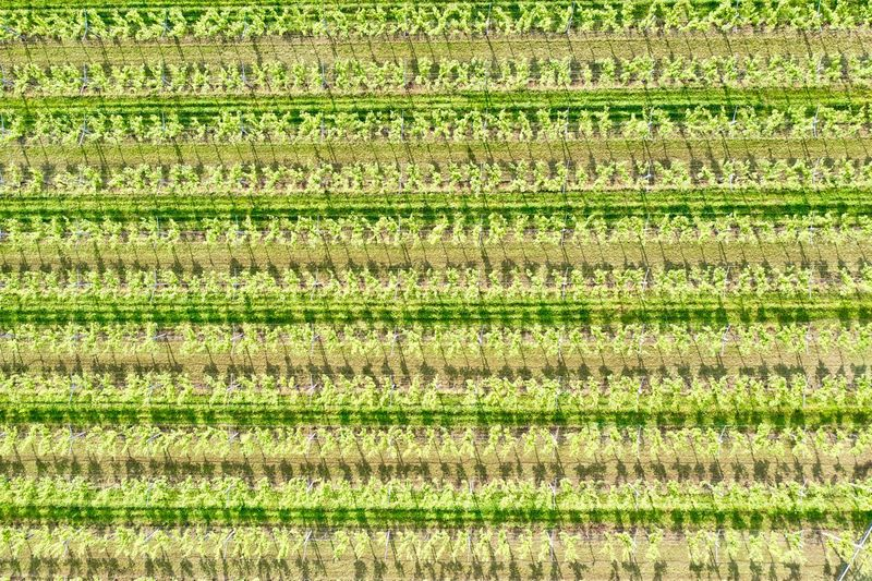 Italy, Verona: Valpolicella wineyards Drone  Green Color Agriculture Plant Land Nature No People Growth Field Wineyard Valpolicella Drone Photography From Above  High Angle View Looking Down Pattern Textured  Full Frame Crop  Backgrounds Parallel Lines Lines Landscape Springtime Day Daylight Daytime Geometry Horizontal Italy Verona Repetition Nature Outdoors Nobody Viniculture Environment Shades Of Green  In A Row Side By Side Order Abundance Rural Scene Aerial View Parallel