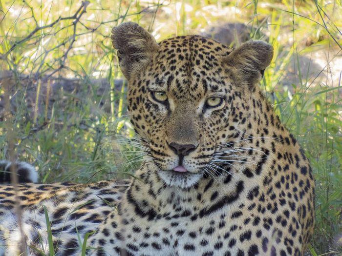 Leopard Portrait Africa Endangered  Gamedrives Leopard Safari Wildlife