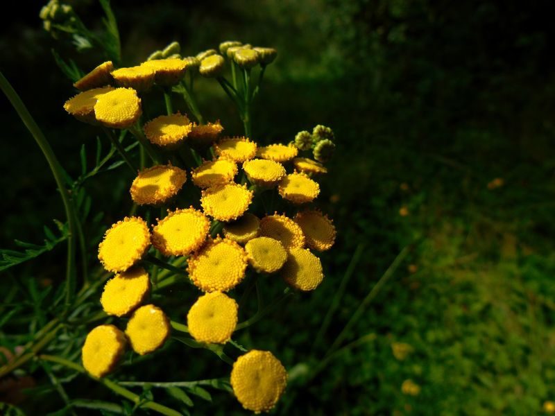 Common Tansy (Rainfarn) Beauty In Nature Botany Close-up Day Flower Flower Head Flowering Plant Focus On Foreground Fragility Freshness Green Color Growth Inflorescence Nature No People Outdoors Petal Plant Rainfarn Vulnerability  Yellow
