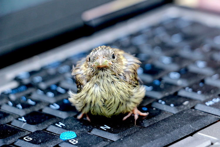 sparrow baby Animal Themes Animal Wildlife Animals In The Wild Baby Baby Bird, Sparrow Bird Close-up Day Focus On Foreground Laptop Laptop Keyboard Mammal Nature No People One Animal Sparrow Sparrow Bird