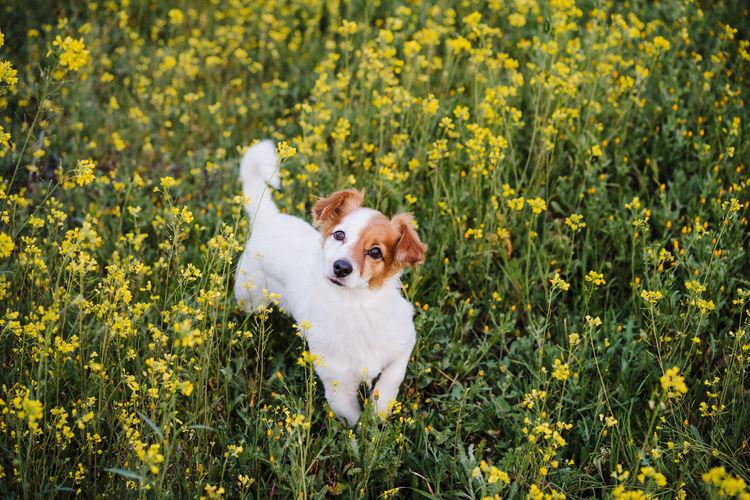 White dog in flower field