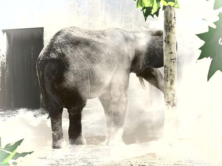 Dust bathing elephant Animal Behavior Animal Welfare Beijing Zoo Dust Bathing Elephant Herbivore Manipulated Zoo