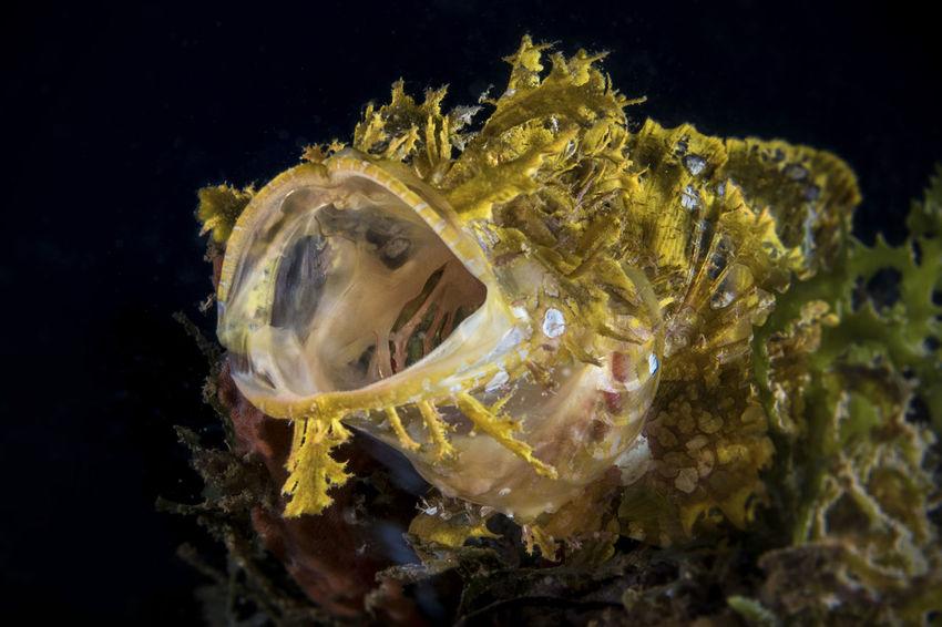 📸 with a Canon G7xMarkII in a Nauticam housing 🐟 yawning Juvenile yellow Rhinopias frondosa #DavaoCity #Phillippines #RhinopiasFrondosa #UNDERWATER #davaoPhilippines #macrophotography #marine #marinebehavior #marinelife #newdivedestination #rhinopias #scorpionfish #underwater Photography #underwaterlife #underwatermacrophotography #yawning #yawningfish