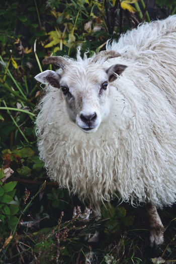 Between the seasons. Mammal Animal Themes Animal Domestic Animals Domestic Pets Livestock Vertebrate One Animal Looking At Camera Portrait Land Field Day No People Sheep White Color Plant Nature Animal Hair Outdoors Herbivorous Animal Head  Wildlife Goat
