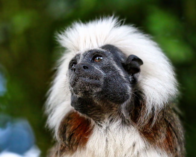 Cotton Top Tamarin Animal Body Part Animal Hair Animal Head  Animal Themes Close-up Day Focus On Foreground Looking Away Mammal Nature No People Outdoors Portrait Selective Focus
