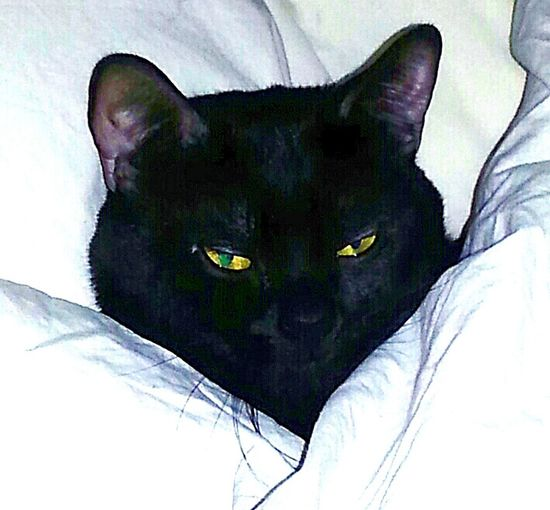 Black Cat White Sheets Warm & Fuzzy Taking Photos Eyem Felines Cozy Cat Relaxed and he rules my world! Colorado Springs CO USA Pikes Peak