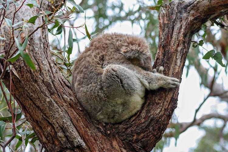 Close-up of koala resting on tree
