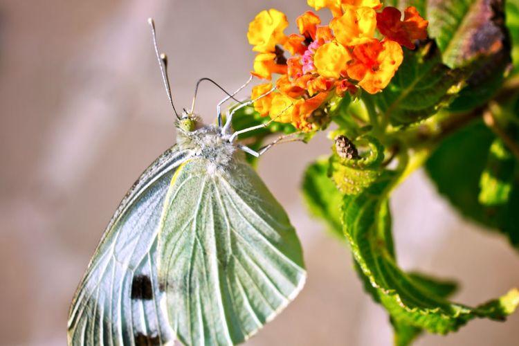 Close-up of butterfly pollinating on lantana camara