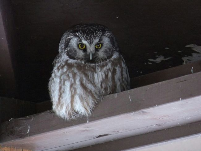 Owls Owllife Owl Eyes Visiting In My Rafters Wildlife Feathers♡ Big Eyes Special Moment Fluffy Yellow Eyes