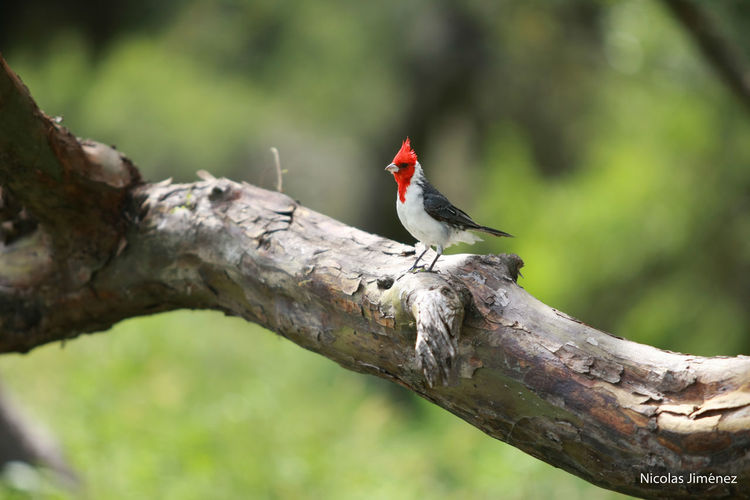 Cardenal Mendoza Animal Themes Animal Wildlife Animals In The Wild Beauty In Nature Bird Birds Branch Canon 70d Close-up Day Focus On Foreground Nature No People One Animal Outdoors Pajaros Perching Red Tree