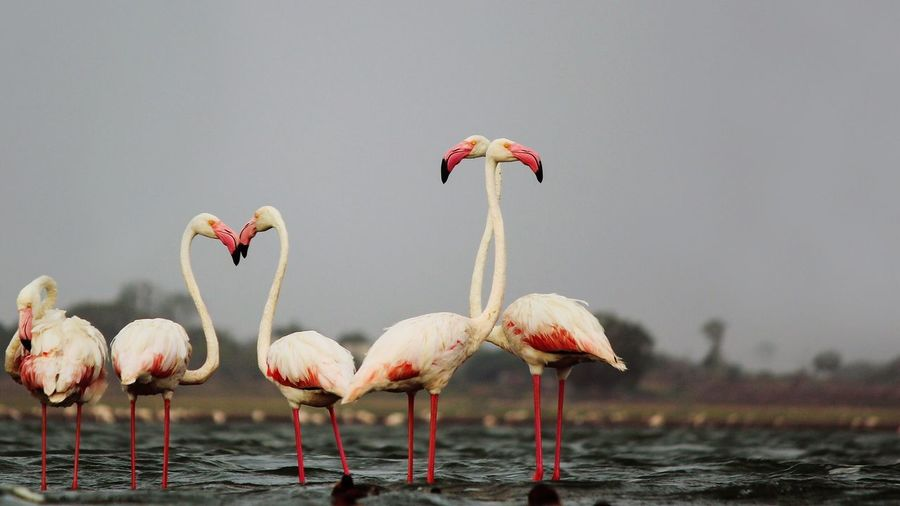 Flamingos in sea