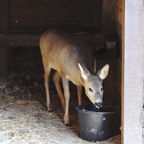 Deer standing in farm