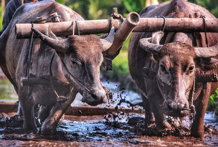 Close-Up Of Bulls In Water