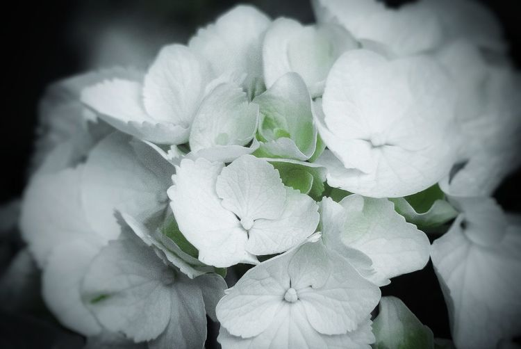 Close-up of white hydrangea flower