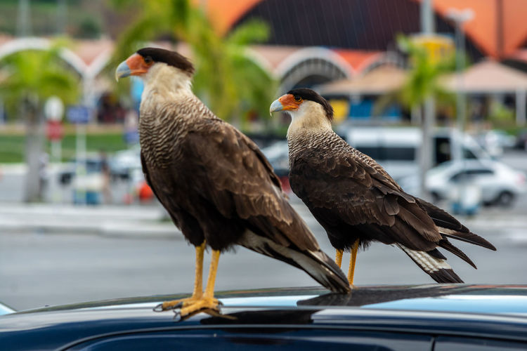 Close-up of hawks perching on car