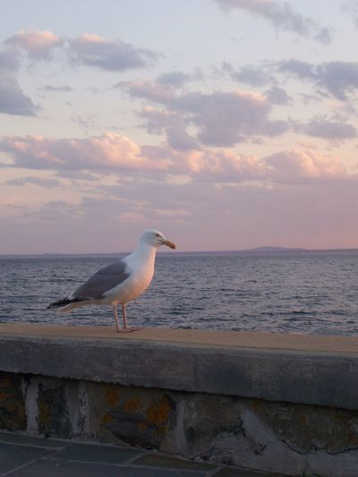 Looking the Sunset Kennebunk EyeEmNewHere Water Sea Animal Sky One Animal Bird Animal Themes Horizon Over Water Cloud - Sky Seagull Sunset