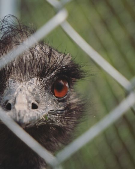 Glad I'm on the other side og the fence Emu Animal Bigbird Closeup Closeupshots EyeEm Selects Looking At Camera Close-up
