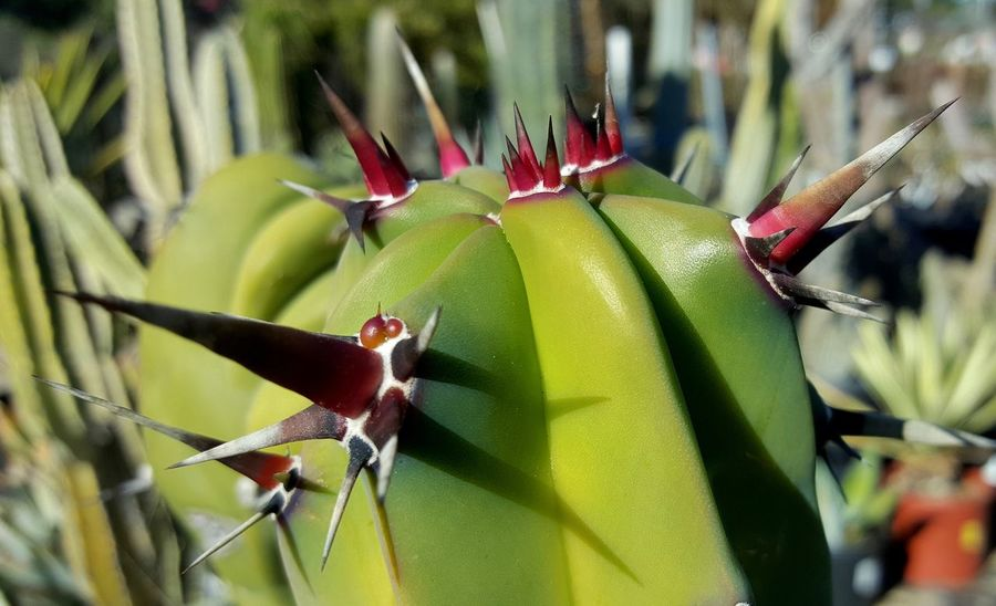 Agave Love Cacti? Close-up Nasty Thorns Nursery Garden Red Thorns Using Tags Is A Pain In The A.
