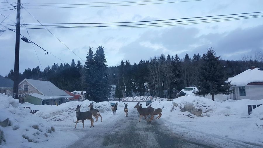 Traffic jam in Kimberley, BC, Canada 😉 Deer Traffic Jam Kimberley BC, Canada Deersighting Deer Moments Deer Sighting Deer In The Snow Deer In The City Deer In The Road Urban Deer Nature In The City Cold Temperature Snow Nature Winter Outdoors Day Beauty In Nature Slice Of Life