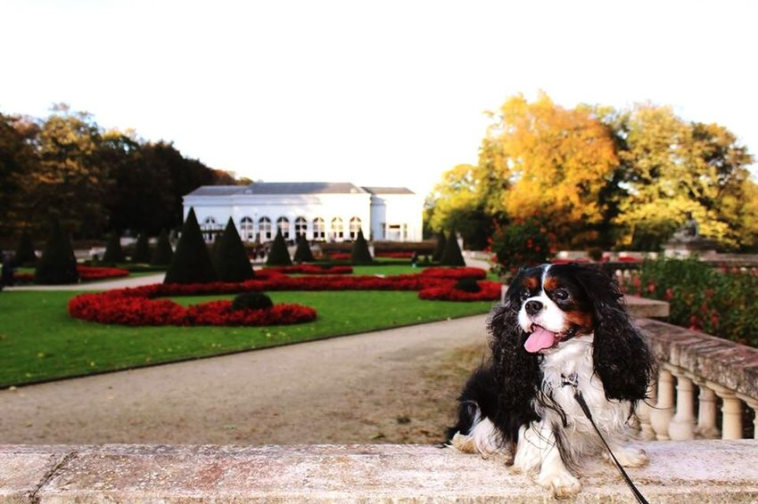 Pets Corner Pets Dog Cavalier King Charles Spaniel My Pet My Love Beautiful Nature Dogs Cute Pets Unlikely Heroes He is my Hero because he is always there for me, he maybe can't talk but he can feel my pain and be there for me. My Hero ❤️ my love