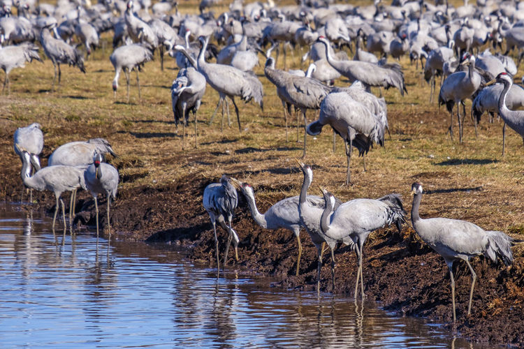 Flock with cranes at the water's edge