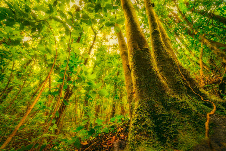 Dreamy Forest Tree Laurisilva Forest Plant Growth Land Beauty In Nature Tranquility Tree Trunk Green Color No People Trunk Nature Scenics - Nature Day WoodLand Tranquil Scene Non-urban Scene Environment Foliage Outdoors Rainforest Tree Canopy  Bamboo - Plant #green Springtime Decadence