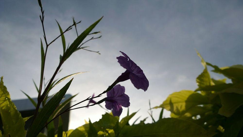Purple Flower In The Morning.. Sunrise #flowers #PurpleFlower Lumia1020 Malaysia Nature Nature Photography Nature