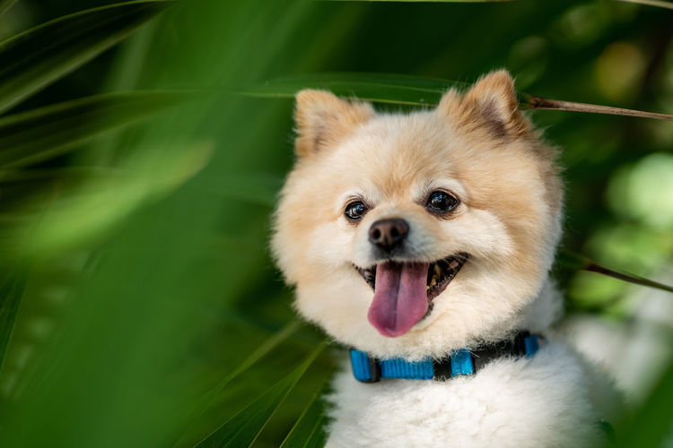 One Animal Animal Themes Mammal Animal Canine Dog Domestic Domestic Animals Vertebrate Pets Mouth Open Close-up Mouth Looking At Camera Animal Body Part Focus On Foreground Portrait Pomeranian No People Facial Expression Animal Tongue Animal Head  Panting Animal Mouth