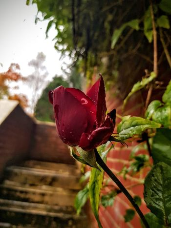Autumn rose Autumn Autumn Flowers Flower Nature Petal Red Rosé Plant Growth Beauty In Nature Freshness No People Fragility Outdoors Flower Head Close-up Day Springtime Leaf Scotland Samsungphotography Samsung Galaxy Note 8 The Week On EyeEm Vibrant Redrose  Perspectives On Nature