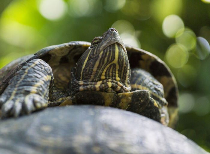 Red Eared Slider. Portrait of a Turtle Amphibian Amphibians Animal Portrait Animals Beauty In Nature Close-up Nature Pond Pond Life Red Eared Slider Red Eared Sliders Reptiles Reptilia Trachemys Scripta Elegans Turtle Turtles Wildlife Relaxed Relaxing