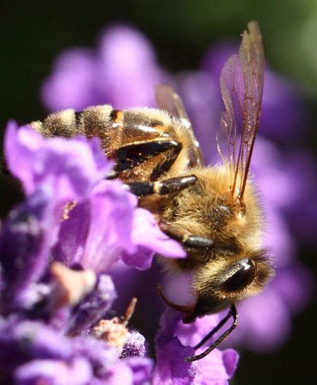 Macro Bee Nature