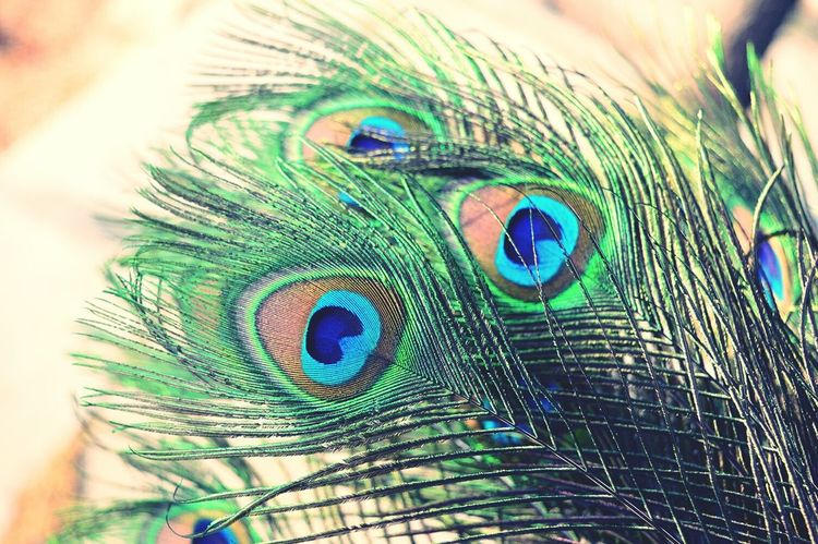 Macro Beauty Peacock Feathers