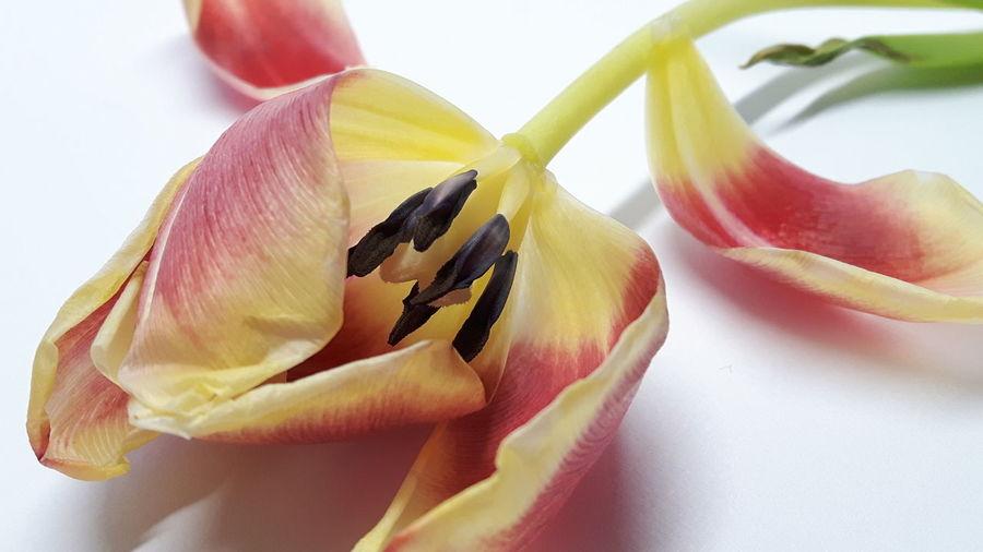 Tulip *17