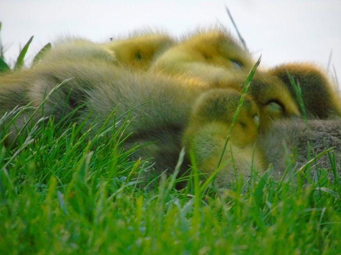 Sleeping Ducks ❤