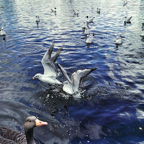 Wenn zwei sich streiten.... Taking Photos Möwen Möwenleckerbissen Seagulls Jungfernstieg Hamburg Followme Animals Enjoying Life Photography First Eyeem Photo