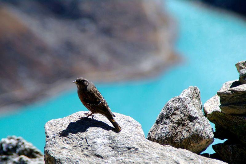 Nature's Diversities ein Spatz in 5300 metern Höhe auf dem Gokyo Peak ... Gokyo Lake Spatz For You ;-) Samsungphotography Nepal Travel Himalayas Asian