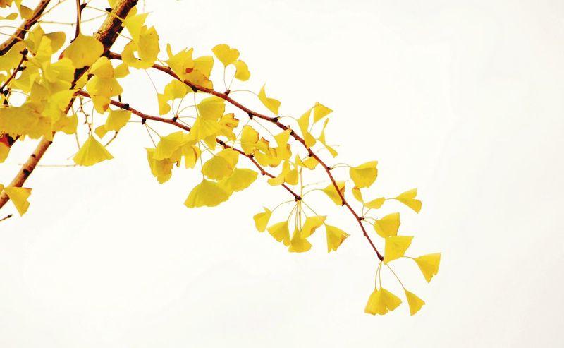 My Year My View Leaf Leaves Of Gingko Tree Guiyang China Train Station