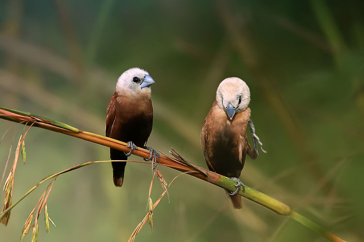 two small birds Animal Animal Themes Animal Wildlife Animals In The Wild Bird Branch Close-up Focus On Foreground Group Of Animals Munia Nature No People Outdoors Perching Selective Focus Small_bird Tree Twig Two Animals Vertebrate