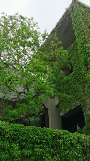 Tree Ivy Sky Architecture Grass Building Exterior Built Structure Plant Green Color Growing Creeper Plant