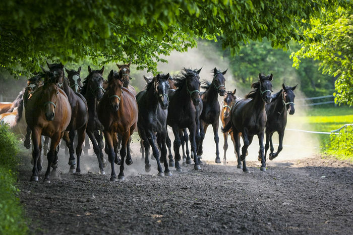 Animal Themes Arabian Horses Domestic Animals Gallop Galloping Herd Of Horses Horse Racing Horse Stud Horses Large Group Of Animals Livestock Mammal Nature No People Outdoors