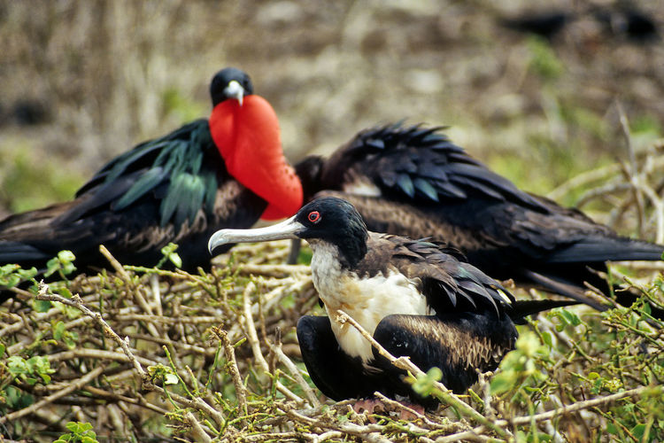 mating Frigate Birds, Galápagos Balzzeit Fregattvogel Frigate Bird Galapagos Mating Animal Animal Family Animal Themes Animal Wildlife Animals In The Wild Bird Birds Brüten Day Frigate Birds Group Of Animals Mating Season Nature Nisten No People Outdoors Perching South America Togetherness Vertebrate