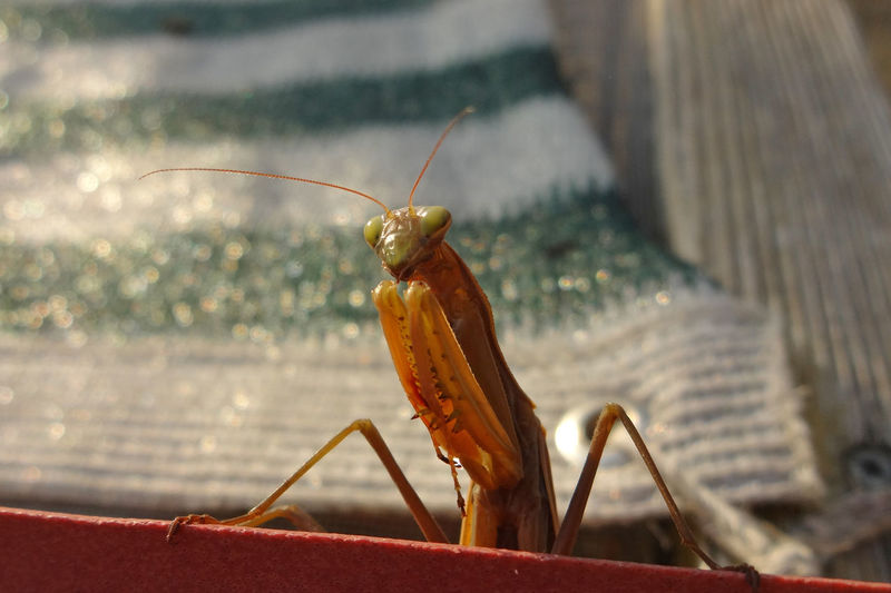 Close-up of a praying mantis in garden